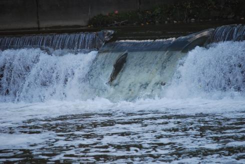 Toronto Humber River Salmon