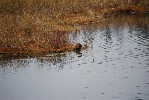 Algonquin beaver Toronto