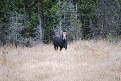 Algonquin moose Toronto